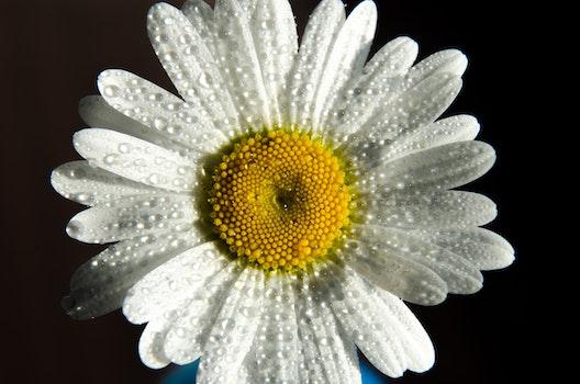 Free stock photo of nature, petals, dew, wet