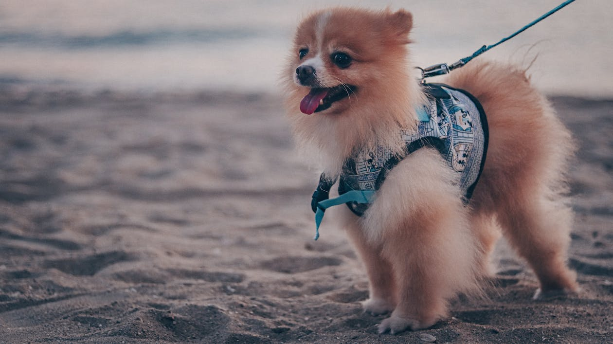 Brown Pomeranian Puppy on Beach