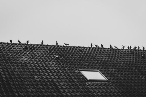 Pigeons Perched on Rooftop