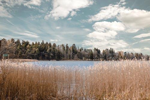 Ilmainen kuvapankkikuva tunnisteilla järven puolella, järvi, kaisla, luonto