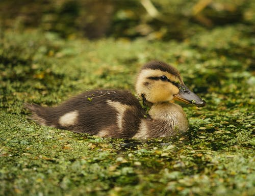 Small duck swimming in lake covered with leaves