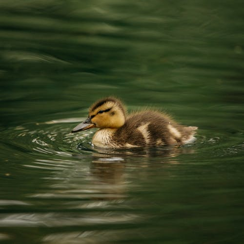 Graceful duckling floating in lake water