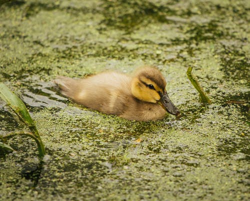 Small duck swimming in mossy pond