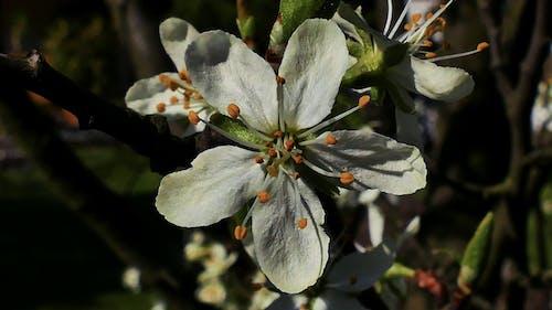 Free stock photo of biały, kwiat, kwiat śliwy