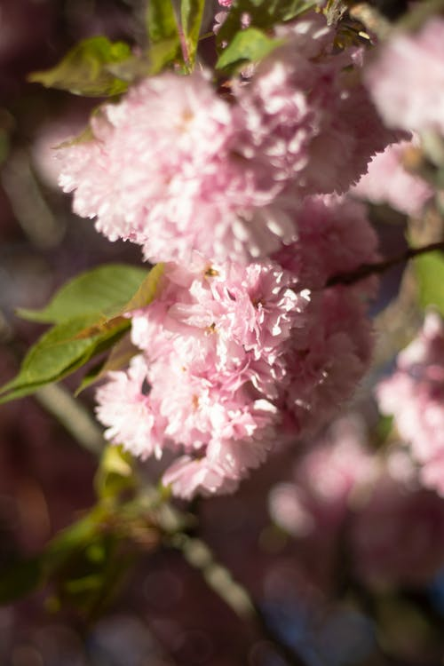 Free stock photo of cherry blossoms, pink, spring, sunny