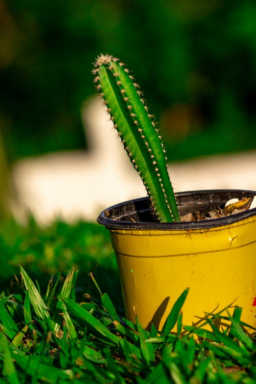 Green Cactus Plant in Yellow Pot