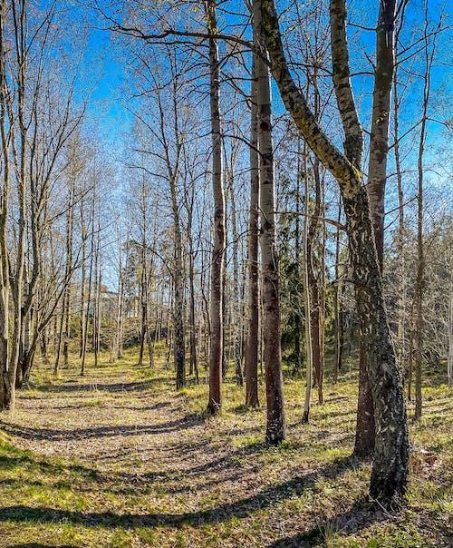 Foto stok gratis hutan, musim semi, pohon hutan, Swedia