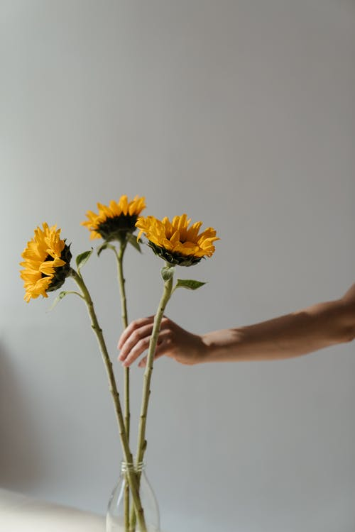 Person Holding Yellow Sunflowers