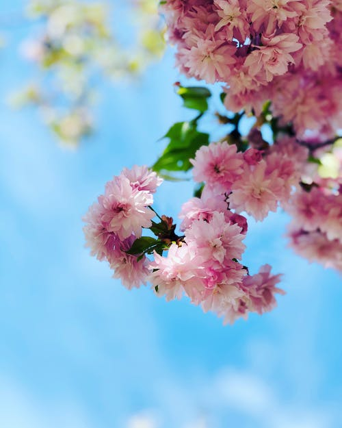 Free stock photo of blooming, blossom, pink