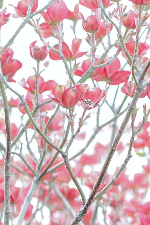 Photo of Pink Dogwood Plant