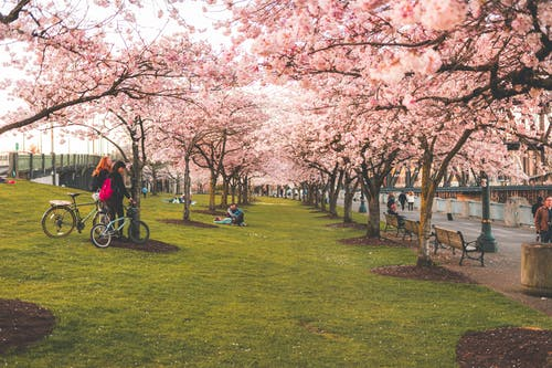 Free stock photo of bike, cherry blossoms, cute park