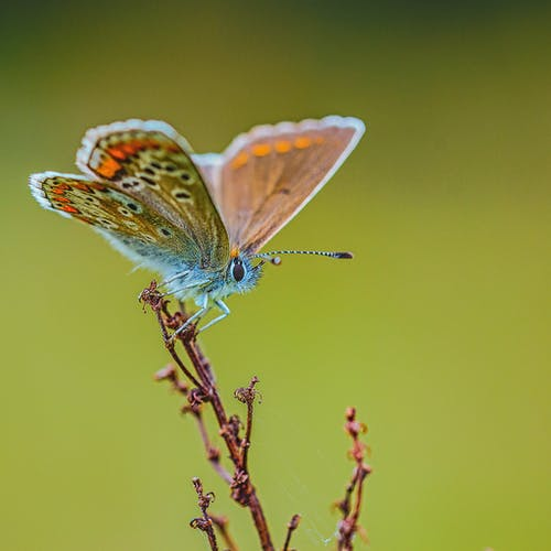 Small common blue butterfly sitting on thin twig in wildlife against blurred green background