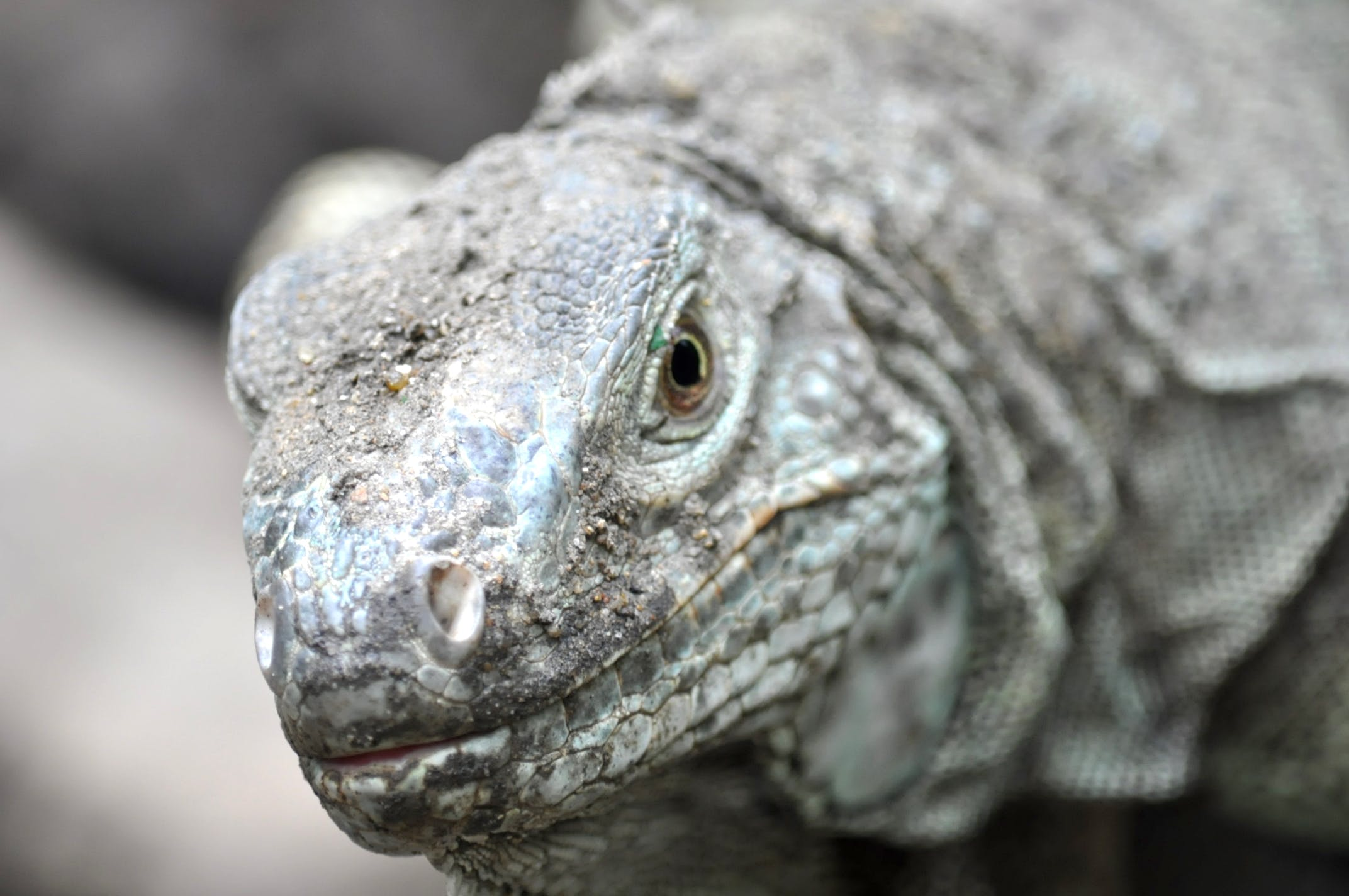 Grey Komodo Dragon