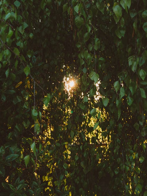 Green leaves on birch branches and sunlight