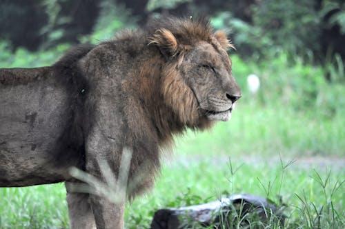 Kostnadsfri bild av afrika, djur, lejon, rovdjur