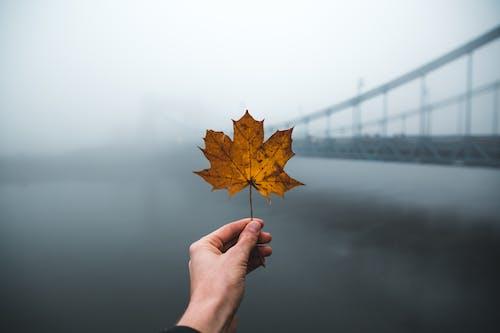 Gratis stockfoto met blad, brug, dageraad, esdoorn blad