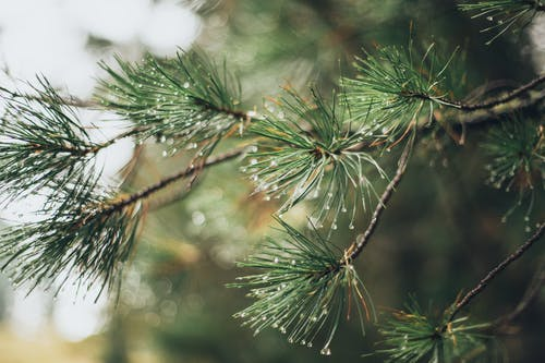 Close-Up Photo of Spruce