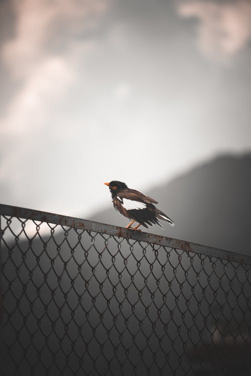 Black and Brown Bird on Gray Metal Fence
