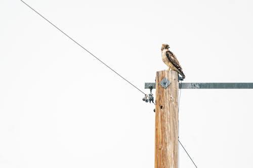 Brown Bird on Brown Wooden Utility Pole