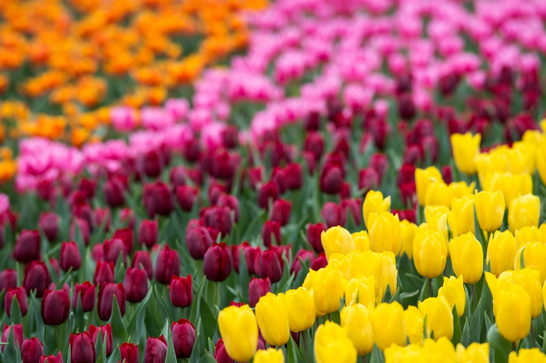 Free stock photo of beautiful flowers, bed of flowers, bright colours