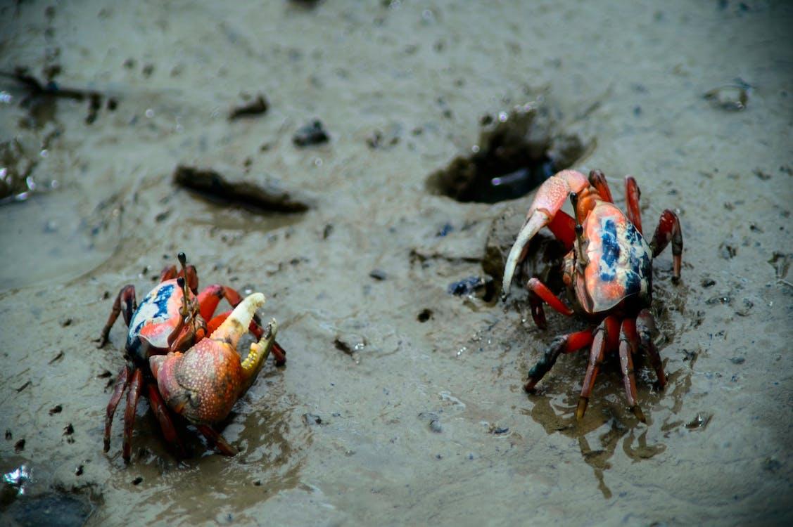 Free stock photo of crabs, wetland, wild