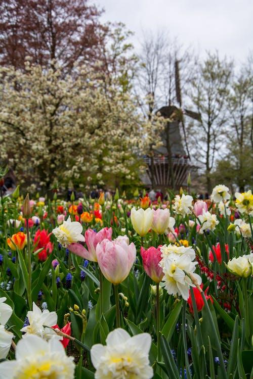 Gratis stockfoto met Amsterdam, biologisch, bloeien