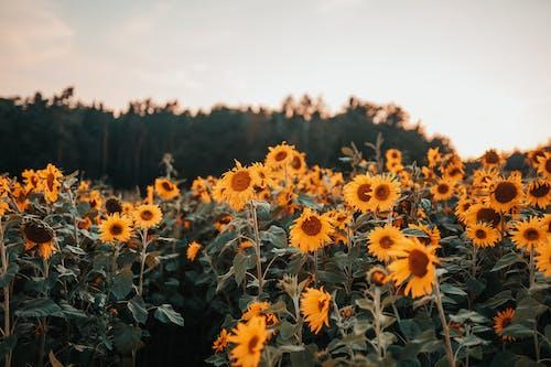 arazi, ayçiçeği tarlası, ayçiçekleri, Bahçe içeren Ücretsiz stok fotoğraf