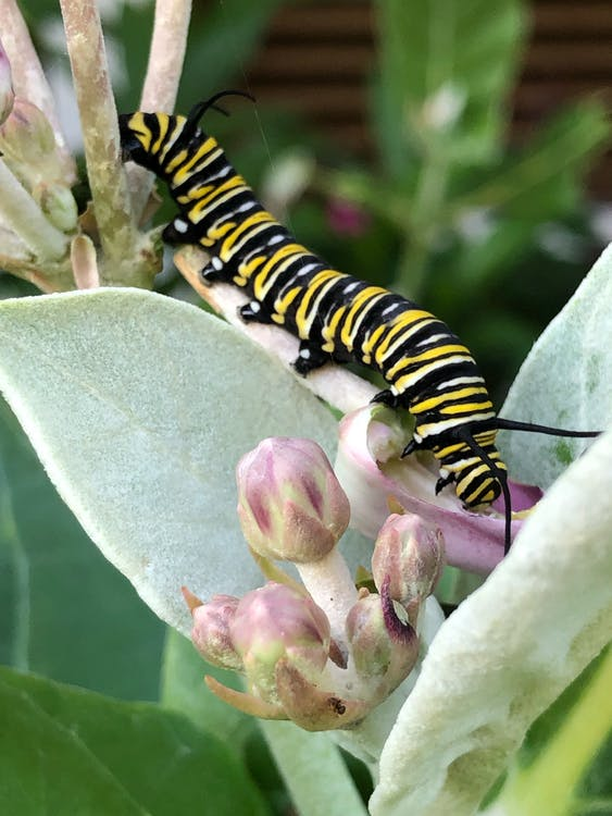 Colorful flexible caterpillar with striped abdomen and many legs feeding leaf of plant in park in daylight