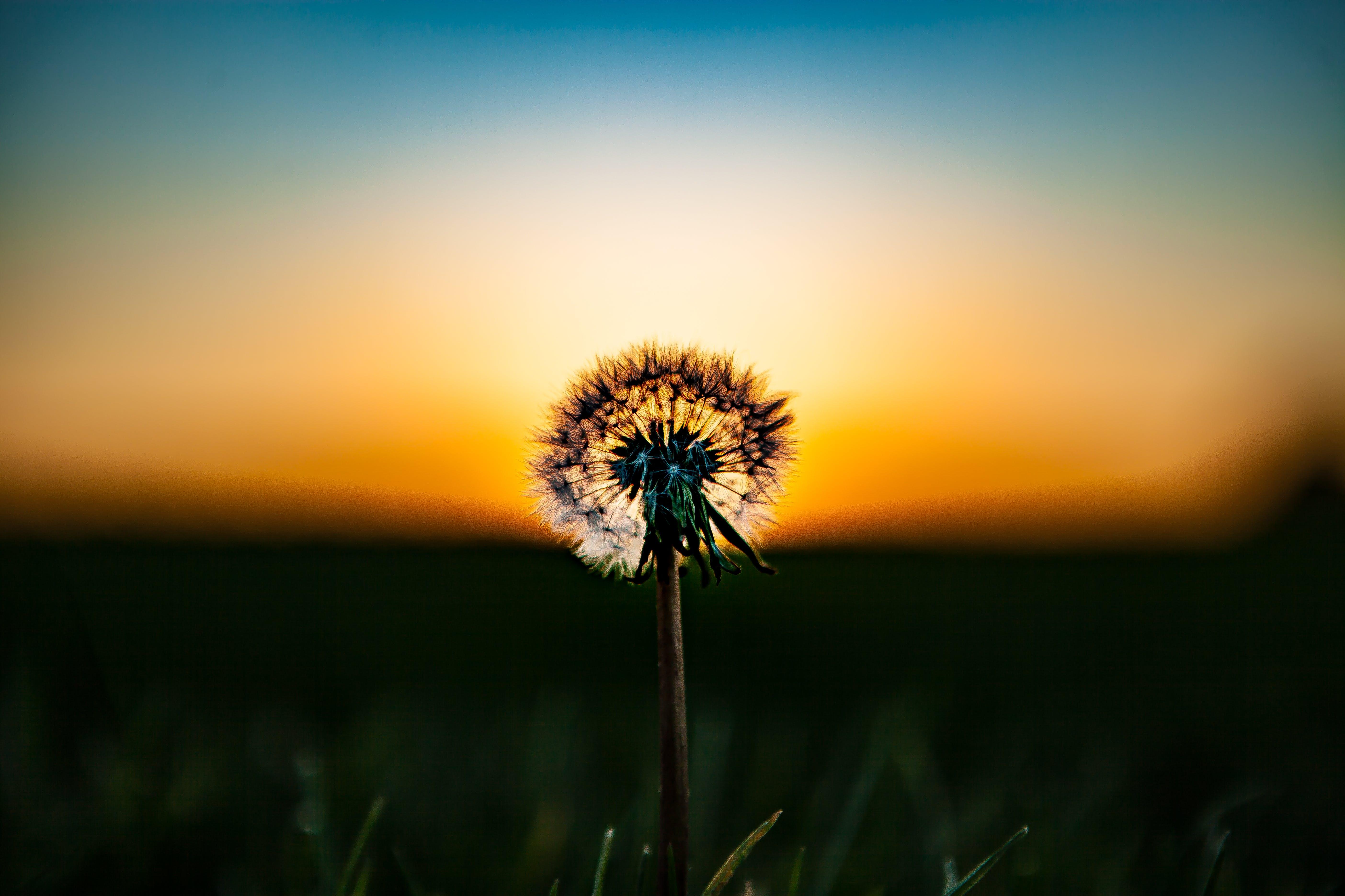beautiful, blur, dandelion