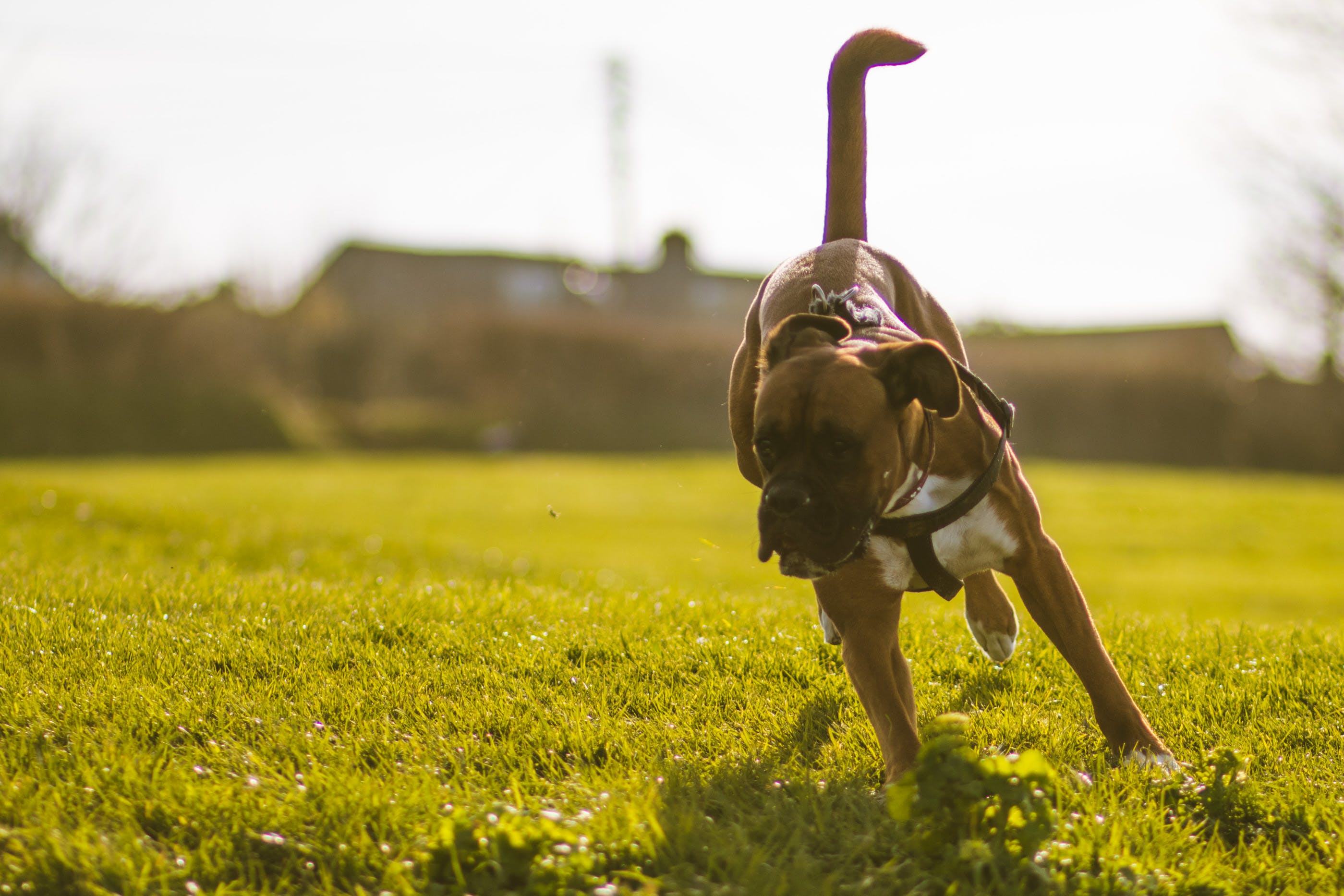 Free stock photo of depth of field, dog, dog playing, grass