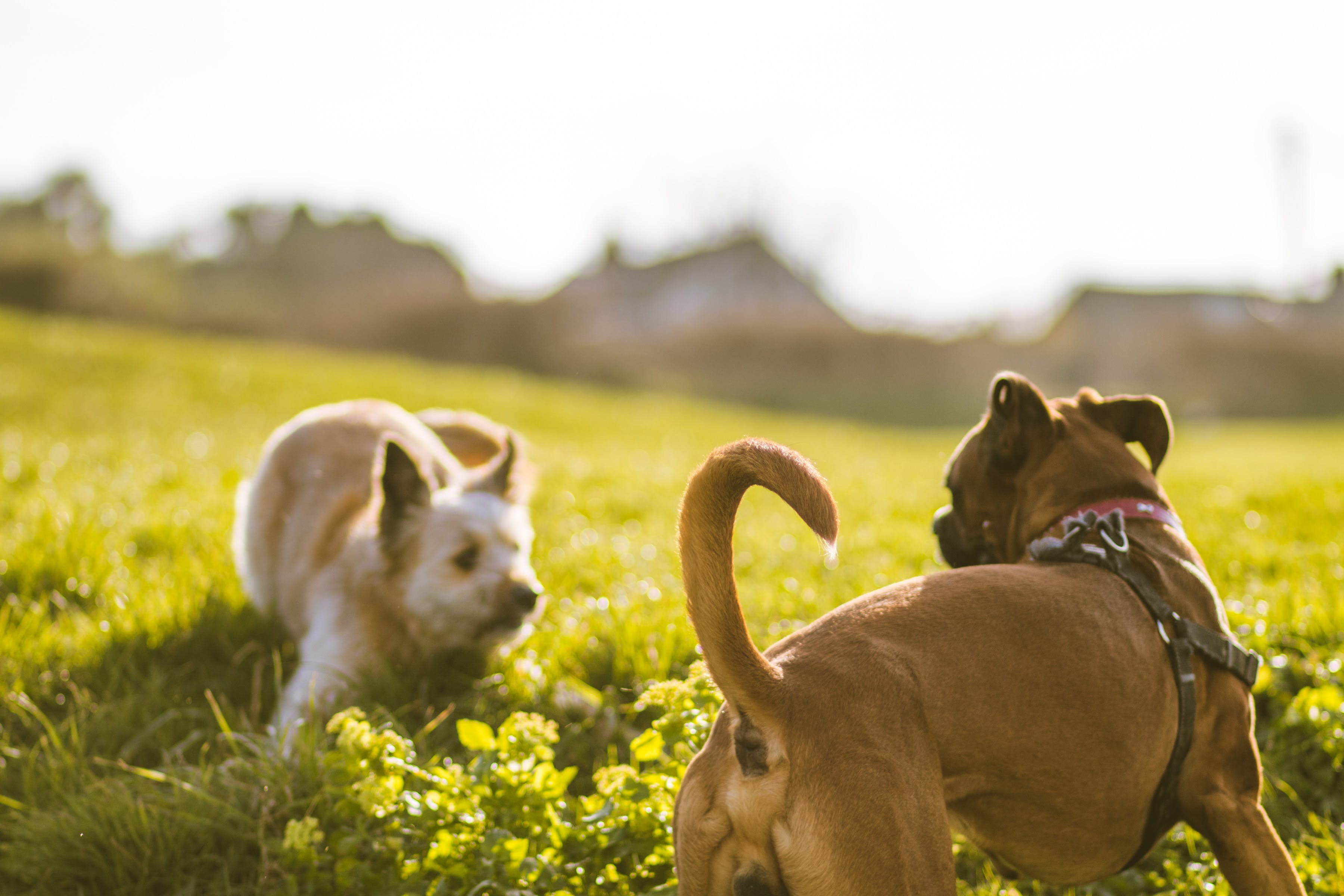 Free stock photo of depth of field, dog, dogs, dogs playing