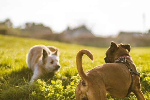 Kostnadsfri bild av gräs, hund, hundar, hundar som spelar
