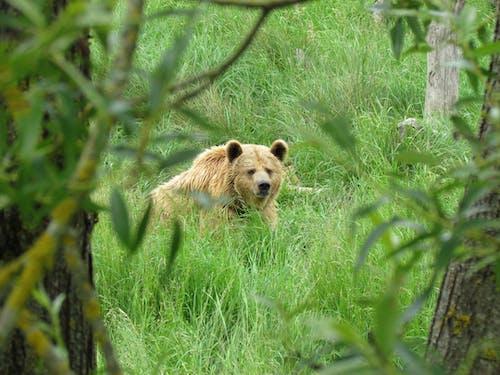 Gratis stockfoto met beer, beest, buiten
