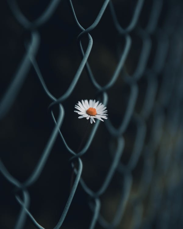 Blooming chamomile behind grid fence in darkness