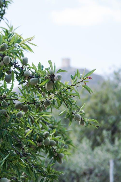 Free stock photo of almond tree, spring