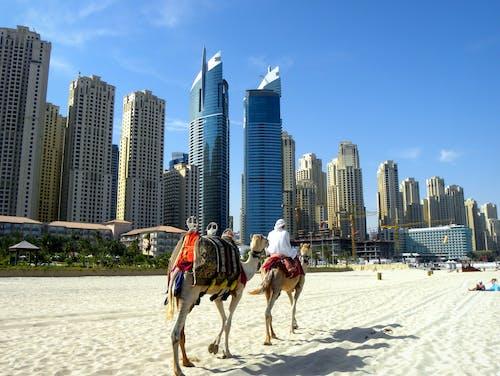 Free stock photo of arabische kamele, dubai, strand, wolkenkratzer