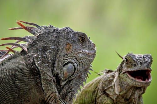 Selective Focus Photo of Two Iguanas