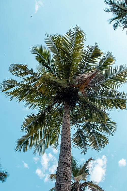 Free stock photo of blue sky, coconut trees, sky