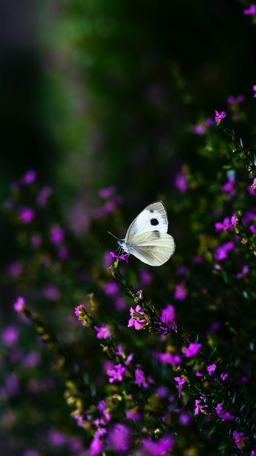 White Butterfly on Purple Flower
