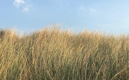Kostenloses Stock Foto zu dünen, dünengras, gras, wind