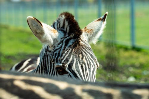 Free stock photo of Gestreift, tier, zebra, zoo