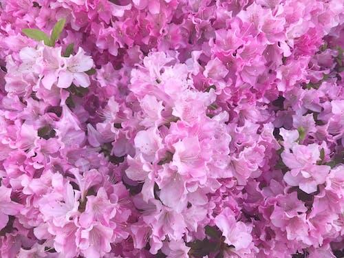 Free stock photo of azalea, azaleas, flowers