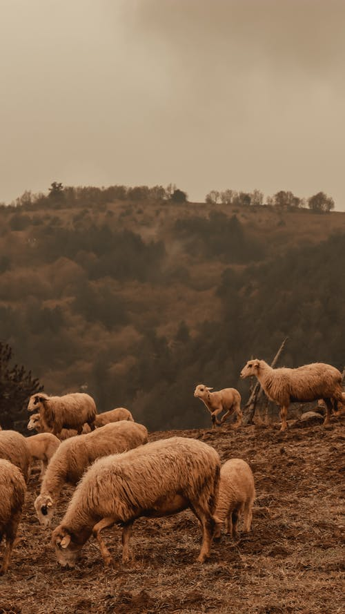 Immagine gratuita di agnello, ambiente, animale