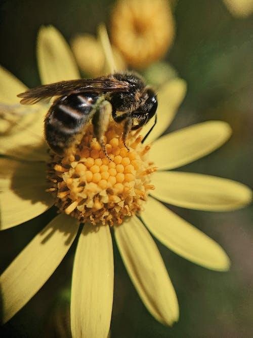 Closeup hardworking bee collecting sweet honey dew on delicate fragrant yellow daisy flower in garden