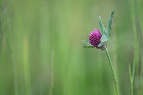 Free stock photo of red clover, roadside