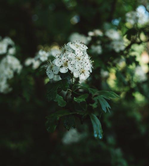Bunch of white blooming flowers of Crataegus shrub