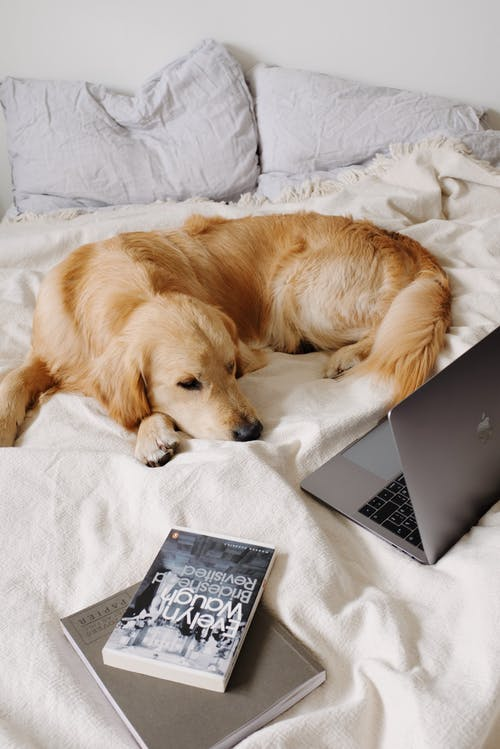 Dog lying on bed near laptop and book at home