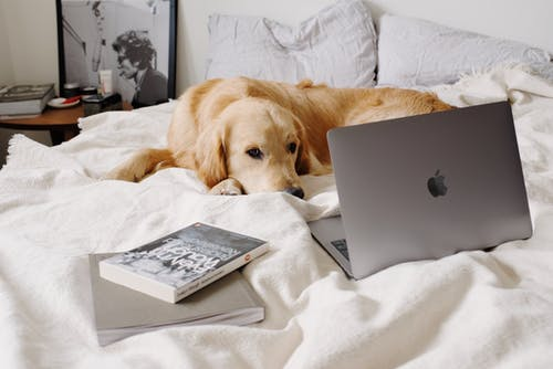 Calm dog lying near laptop on crumpled blanket on bed