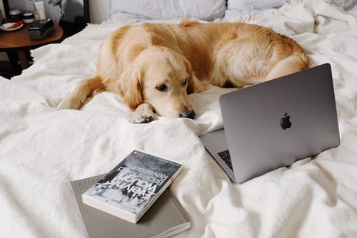 Sad dog lying on bed while watching laptop in flat