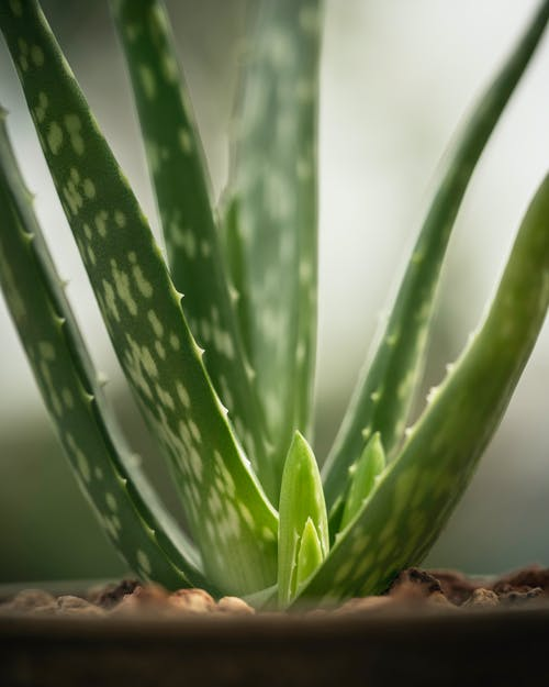 Closeup of fresh tropical evergreen Aloe vera succulent plant with thorns growing in pot in glasshouse